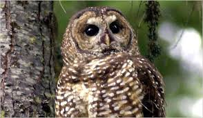 Plan Issued to Save Northern Spotted Owl - The New York Times